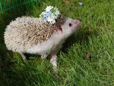 Hedgehog with a flower crown :3