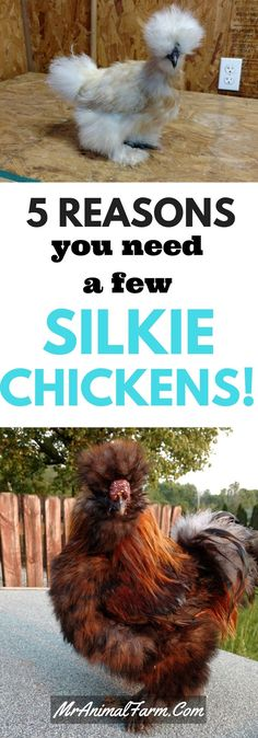 Do you need more reasons to love Silkies other than they're cute? We have 5 reasons you should get Silkies today. Silkie Chickens, Pet Chickens, Silkie Hen, Fancy Chickens, Urban Chickens, Chicken Lady, Chicken Runs, Backyard Poultry, Chickens Backyard
