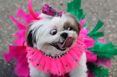 """A costumed dog is seen during the """"Blocao"""" dog carnival parade in Rio de Janeiro, Brazil."""