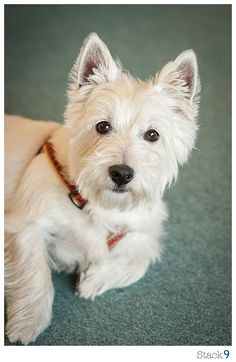 West Highland Terrier.  I don't always come when I'm called, but when I do, I expect a treat!  Stay thristy my friend!
