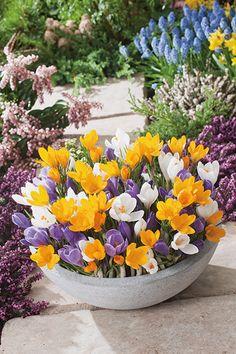 Krokussen komen vooral voor in de kleuren wit, paars en geel. Het is een typische lentebloeier die buiten als één van de eersten zijn gezicht zal laten zien.