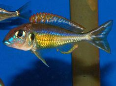 """Callochromis pleurospilus sp """"Flame Rainbow"""" - ~4"""" Tanganyikan (?) sand sifting cichlid, reportedly aggressive"""