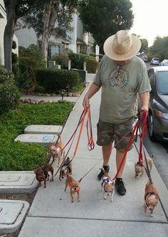 Chihuahuas walking their owner