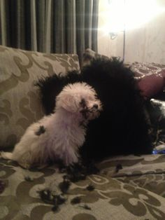 That stupid pillow attacked me again - Poppy my Maltipoo