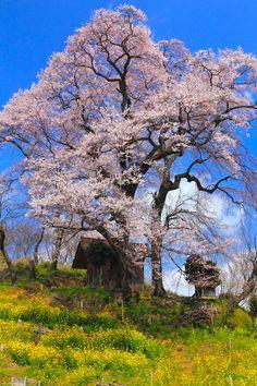 Tenjin Meoto Sakura In Kōriyama City, Fukushima, Japan Time Travel, Places To Travel, Places Around The World, Around The Worlds, Beautiful World, Beautiful Places, Sakura, Bonsai, Travel Channel