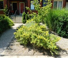 A front garden cleanup in the Leslieville area of Toronto by Paul Jung Gardening Services. Toronto Gardens, Before And After Pictures, Container Gardening, Flower Gardening, Late Summer, Clean Up, Grass, Sidewalk, Yard
