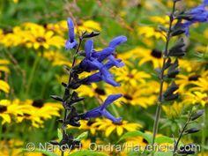 Salvia guaranitica 'Black and Blue' Annual Plants, Salvia, Perennials, Garden Ideas, Bible, Seasons, This Or That Questions, Purple, Black