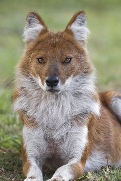 Dholes are social wild dogs, classified as endangered largely due to loss of habitat and lack of available prey. (via San Diego Zoo)  What a pretty boy!