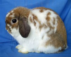 Mini Plush lops are very docile and sweet. Mini Plush Lops are a relatively new rabbit breed that are happy to sit in your lap or curiously hop around.