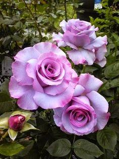 Floribunda Rose - Dioressence