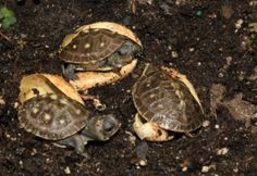 A hatchling group of box turtles