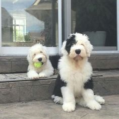 Are you looking for old english sheepdog names? Here is a collection of funny and cute old english sheepdog male/female dog name ideas. Cute Dogs And Puppies, I Love Dogs, Doggies, Sheep Dogs, Chien Goldendoodle, Goldendoodles, Labradoodles, Beautiful Dogs, Animals Beautiful