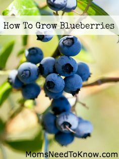 How To Grow Blueberries - A favorite of Mary and Laura and mentioned in Farmer Boy as well.
