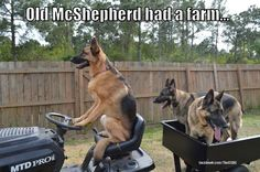 GSD of the month archive 2013 Pet Dogs, Dogs And Puppies, Dog Cat, Doggies, Animals And Pets, Funny Animals, Cute Animals, Dog Quotes, Animal Quotes