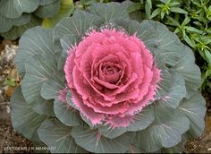 Decisions - a rose smells better than a cabbage; but the cabbage makes a better soup. Cabbage Plant, Cabbage Flowers, Red Cabbage, Colorful Plants, Cool Plants, Pink Garden, Lawn And Garden, Dream Garden, Nature