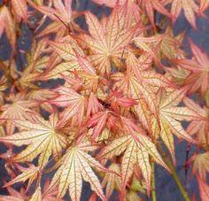 Peaches N Cream Japanese Maple. Already in my garden. It has wonderful color spring, summer, fall.