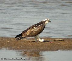 Balbuzard pêcheur - Pandion haliaetus