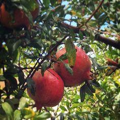 Yağmurdan sonra Marmaris manzaraları: üzerinde yağmurdan artırdığı iki damla ile nar gibi kızarmış narlar🇬🇧 Marmaris after rain: ripe pomegranates with two rain droplets on them #marmaris #seemarmaris #mugla #muğla #travelblogger #localguide #turkey #instatravel #geziblog #marmaris2017 #Мармарис #enjoymugla #مارماریس #nar #pomegranate