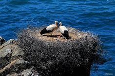 Cegonhas no Cabo Sardão