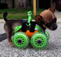 TurboRoo 3-D printed wheels for disabled puppy.