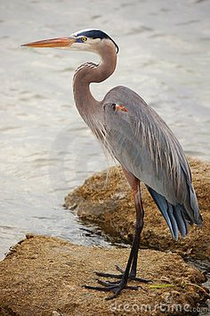A Great Blue Heron waiting near fishermen  with water background