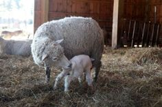 New lamb born at our farm. Getting Stitched on the Farm
