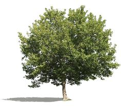 4237 x 3772 pixels PNG image, plane tree with transparent background.