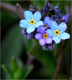 ~~first tiny wild blue... | Forget-Me-Nots | by ~grandma-S~~