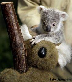 Baby koala 18   #Babykoala #Babykoalapictures #Babykoalaphotos #Cutebabykoala #Sweetbabykoala #cutebabykoala #sweetbabykoala #littlebabykoala #funnybabykoala #babyanimals #babyanimal #cuteanimal #sweetanimals