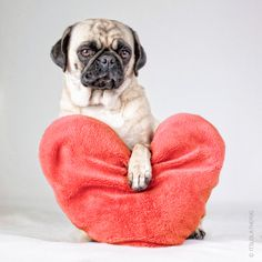 Pug Love, OMG that is my future pug Duchess!! Would you like to be Valentine and Happy Valentine's Day? <3