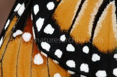Bildergebnis für close up butterfly wings Butterfly Painting, Butterfly Frame, Butterfly Kisses, Monarch Butterfly, Butterfly Wings, Insect Wings, African Textiles, Bugs And Insects, Magical Creatures