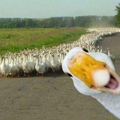 Goose photobomb