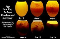 Embryo Development Summary