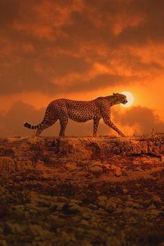 Cheetah - Sunset Duma II - door Kulmiye Chan