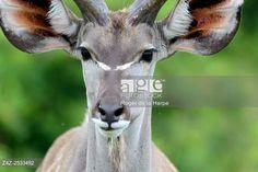 Greater kudu (Tragelaphus strepsiceros. Western Shores. iSimangaliso Wetland Park. KwaZulu Natal. South Africa. © Roger de la Harpe / age fotostock - Stock Photos, Videos and Vectors