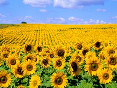 Wild Colors of Sunflowers, Jamestown, North Dakota, USA Photographic Print by Bill Bachmann at AllPosters.com