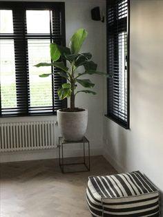 Bananenplant, Musa. Zwarte kozijnen. Visgraat vloer. Mooi.