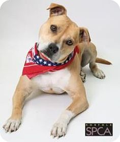 Norfolk, VA - American Pit Bull Terrier Mix. Meet Charlie, a dog for adoption. http://www.adoptapet.com/pet/11990731-norfolk-virginia-american-pit-bull-terrier-mix