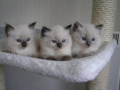 I want a ragdoll kitten <3