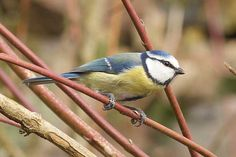 Free Image on Pixabay - Blue Tit, Bird, Nature, Animal Blue Tit, Natural Garden, Bird Design, Free Pictures, Birds, Animals, Image, Creative, Inspiration