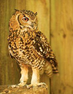 Cape Eagle-Owl By johannlourensphotos
