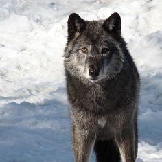 llbwwb:    Looking into the eyes of a Wolf (by annkelliott)