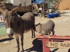 Stopping for lunch in Oatman AZ. A true Route 66 experience.