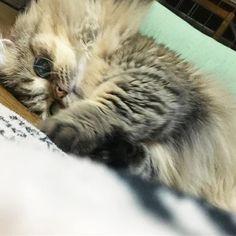 ・ ・ だって... おねぇーちゃん かまってくれにゃいから いじけるにゃん💭 ・ 今日は朝から出かけたり お客さんが来たりで バタバタしてて... かまってあげれなかったら この通り😭💦 ・ #愛猫#Jura#pet#cat#Jura#マンチカン#チンチラ #ミックス#ナポレオン(ミヌエット)#癒し系#Jura #green#eyes#cat#healing#cat#モフモフ猫  #にゃんすたg#短足#毛長#猫