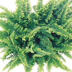 Fluffy Ruffle Fern- One of over 400+ varieties from Exotic Angel Plants®