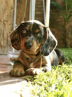 Dachshund. Love the blue eyes! I had a doxi named Gus with one brown and one blue eye. He was the best dog ever!!