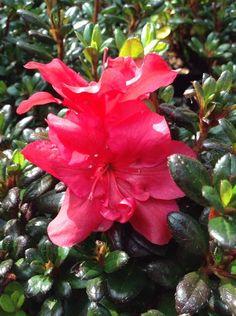Azalea Japonica Maruschka - a low growing evergreen shrub with beautiful red flowers
