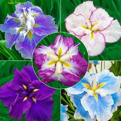 Small Dinner Plates, Gladiolus Bulbs, Japanese Iris, Perennial Bulbs, Plant Zones, Shade Flowers, Garden Bulbs, Spring Bulbs, Clematis