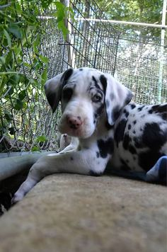 #Great #Dane #dog #puppy | #Dogs | #greatdane #dogs #breed | #puppies