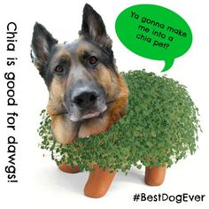 """""""Why Chia?"""" asks #BestDogEver Wyatt. Enter to win new Merrick Pet Care Classic Refreshed! #ad"""